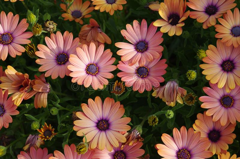 Humble daisy flowers create a powerful, colorful pattern. A common garden flower, a close up view of an array of daisy blossoms provides a beautiful example of royalty free stock photo