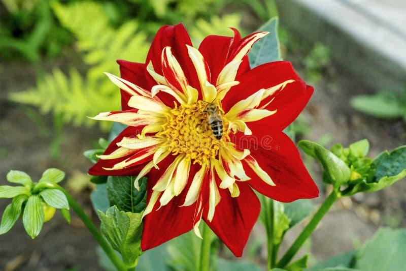 Humblee-bi som sitter p? en enkel r?d dahliablomma i en tr?dg?rd P? en blomma samlar biet nektaret royaltyfria foton