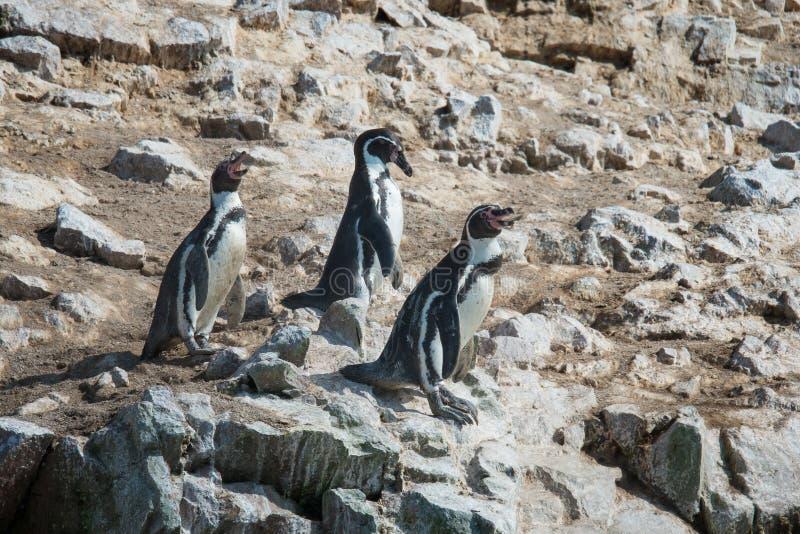 Humbold Penguins, φυσική επιφύλαξη Paracas, Περού στοκ φωτογραφίες