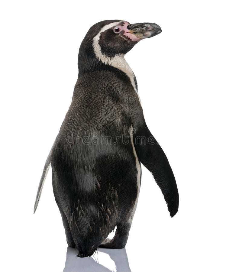 humboldt企鹅后方常设查阅 图库摄影