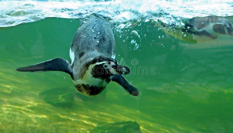 humboldt企鹅游泳 库存图片