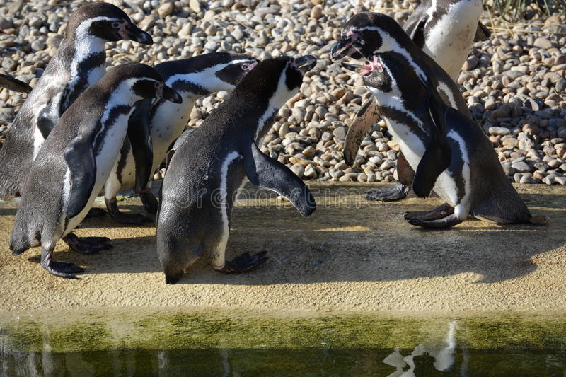 Humboldt企鹅 免版税图库摄影