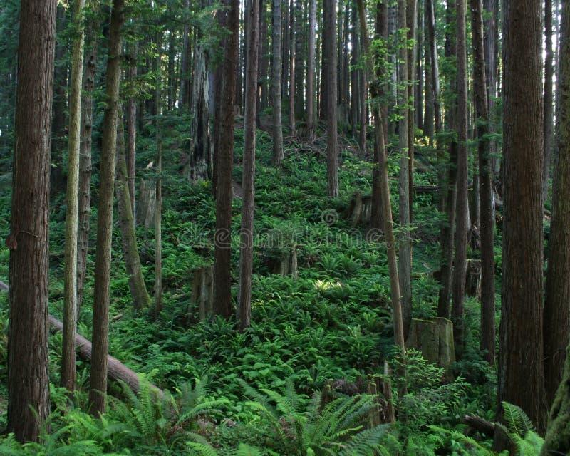 Humboldt County skog royaltyfria bilder