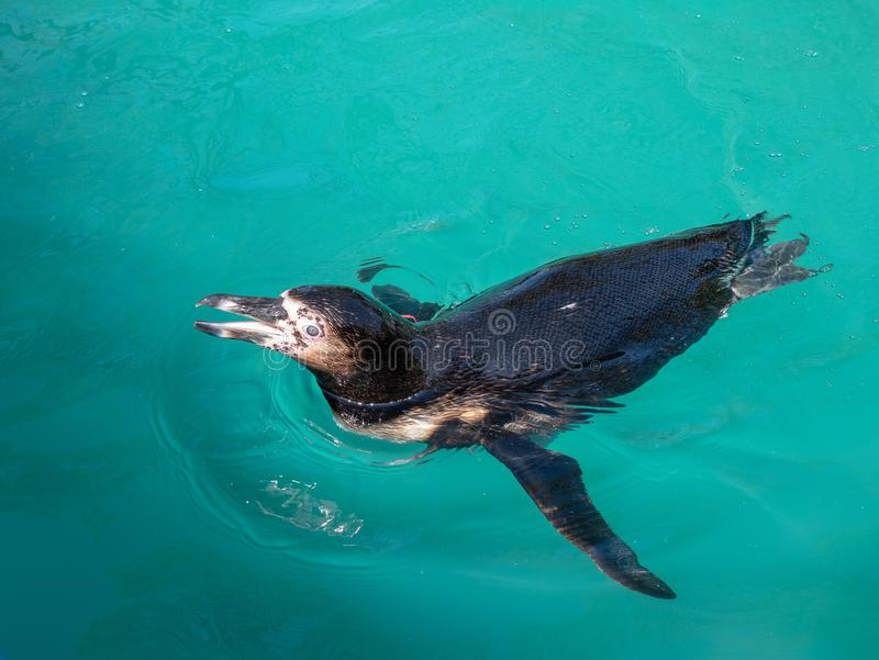 Humboldt penguin που κολυμπά στοκ φωτογραφία με δικαίωμα ελεύθερης χρήσης