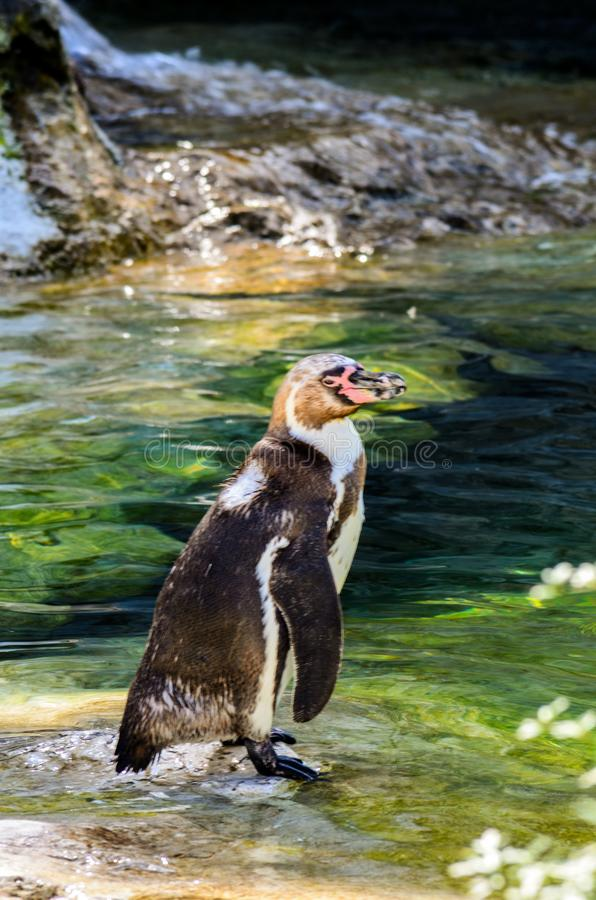 Penguin stepped in the water. Humboldt penguin enjoying the nature