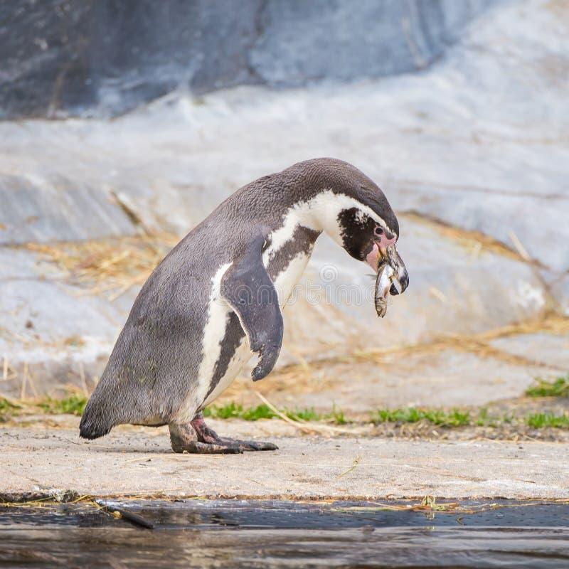 Humboldt Penguin. Spheniscus humboldti, funny animal eating fish stock photo