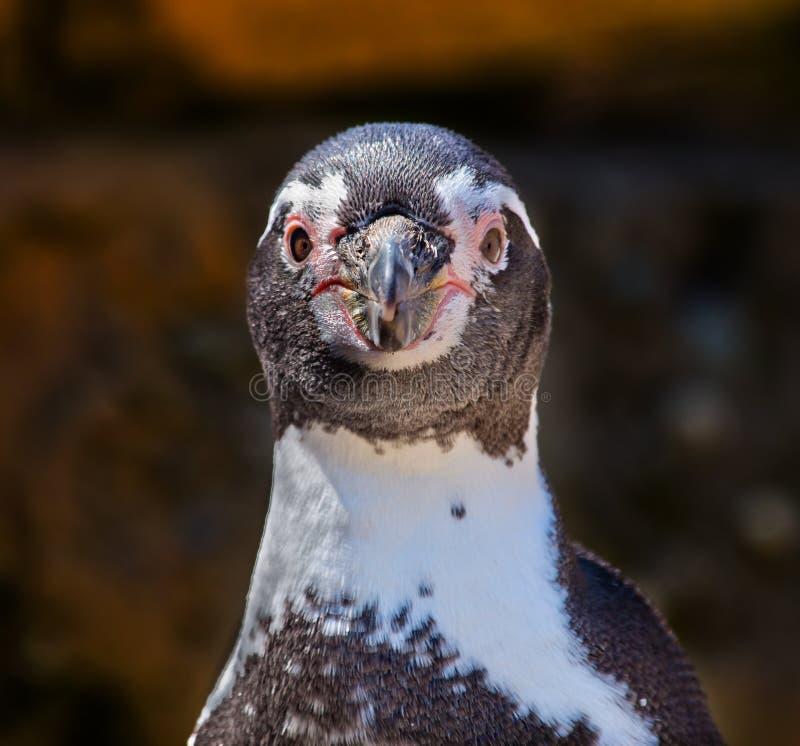 Humboldt Penguin Speniscus Humbolti που εξετάζει σας στοκ εικόνες
