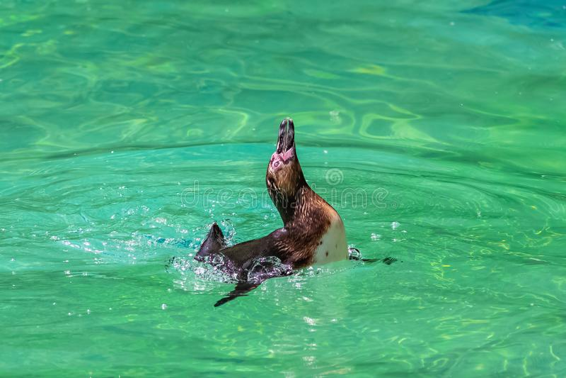 Humboldt Penguin. Spheniscus humboldti, swimming in clear water stock image