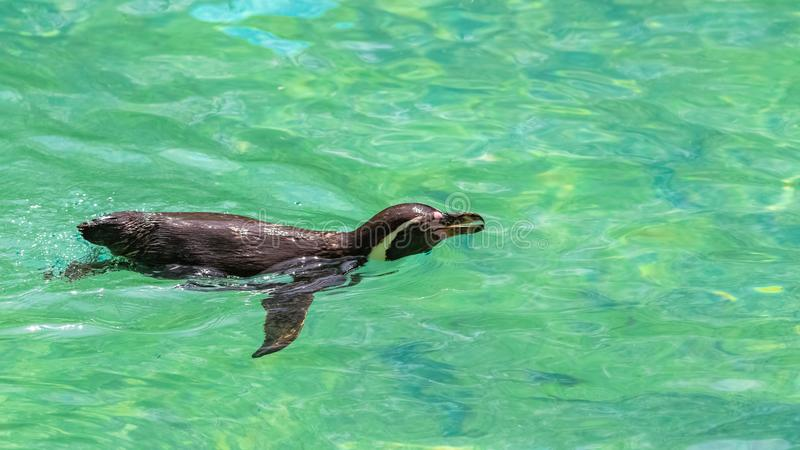 Humboldt Penguin. Spheniscus humboldti, swimming in clear water royalty free stock photography