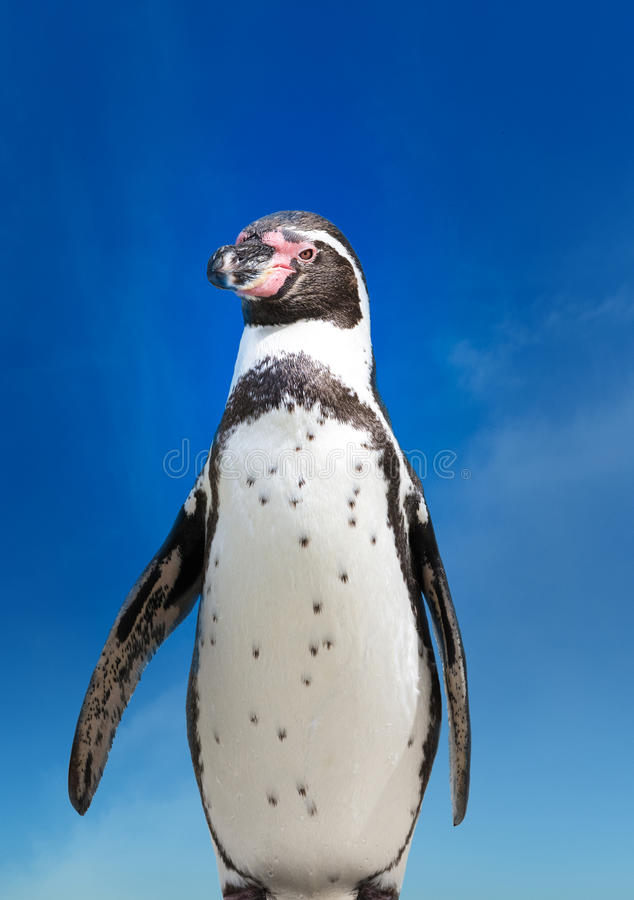 Humboldt penguin stock images