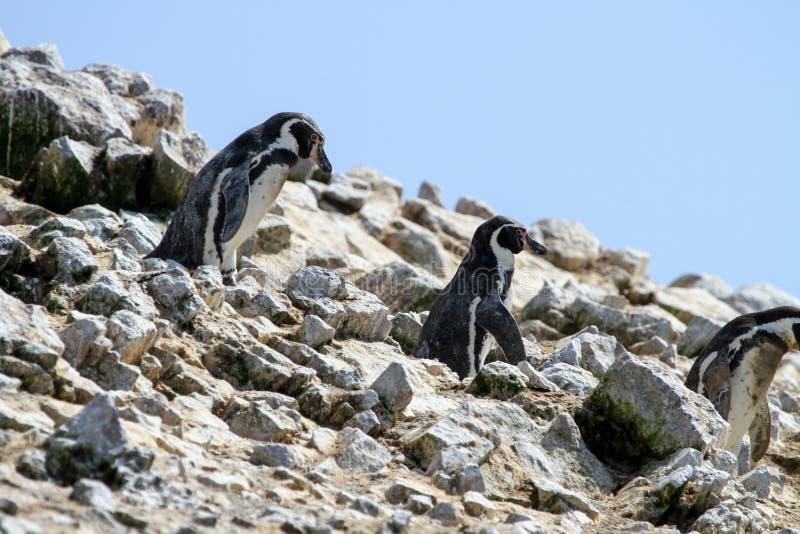 Humboldt Penguins στη δύσκολη επάνθιση στοκ φωτογραφία με δικαίωμα ελεύθερης χρήσης