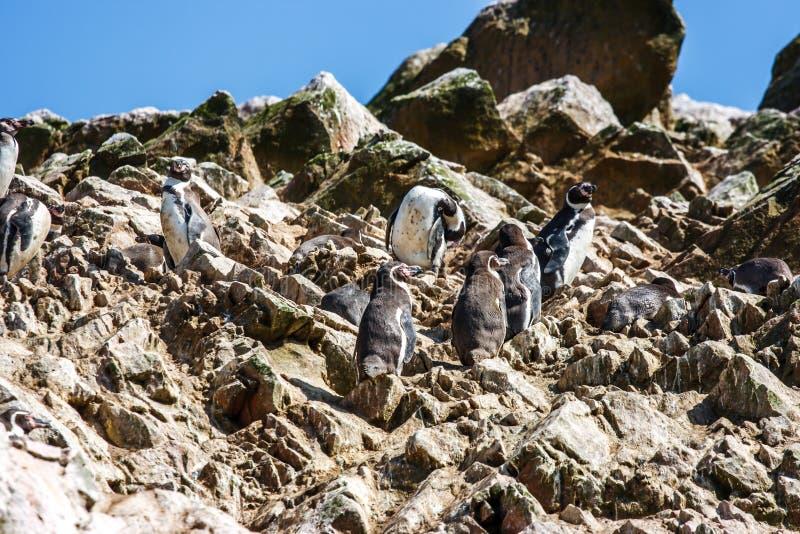 Humboldt penguins στο Islas Ballestas, χερσόνησος Paracas, ανά στοκ φωτογραφίες