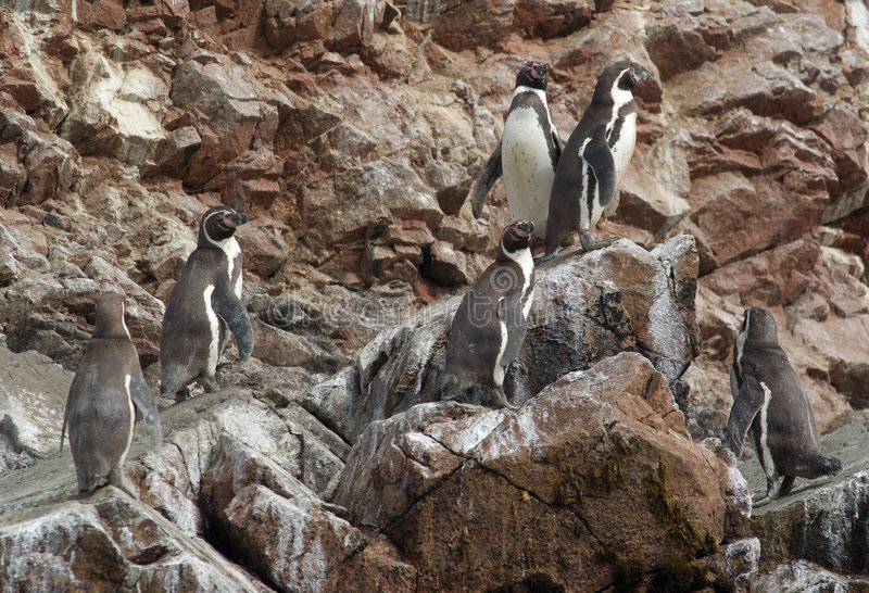 humboldt penguins στοκ φωτογραφία με δικαίωμα ελεύθερης χρήσης