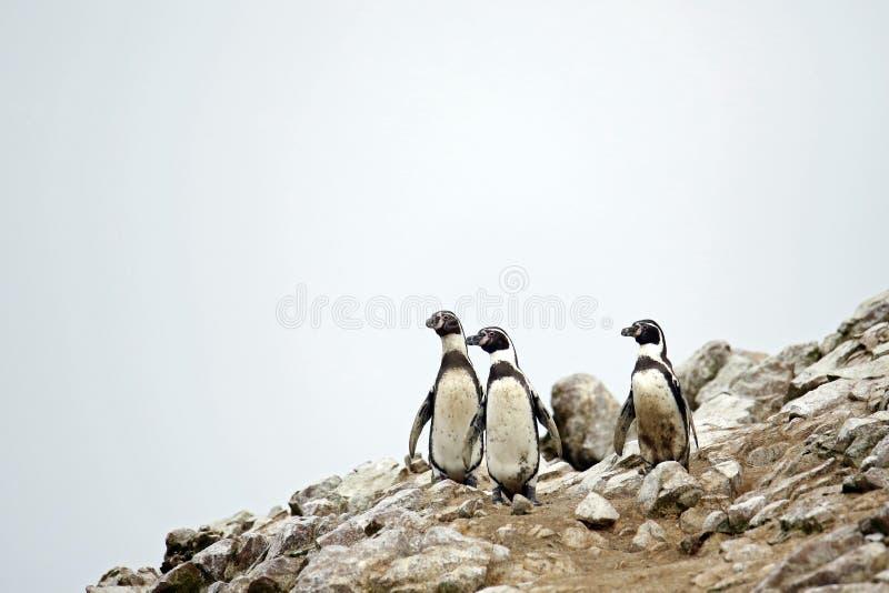 Humboldt Penguins royalty-vrije stock fotografie