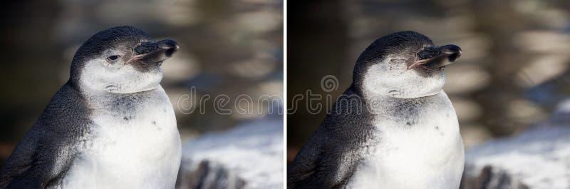 Humboldt-Pinguin lizenzfreie stockfotos