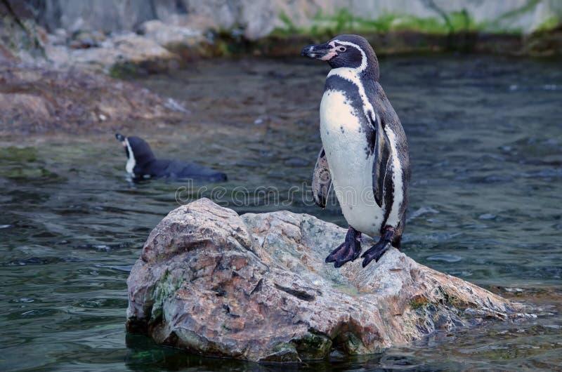 Humboldt Pinguin stockbilder