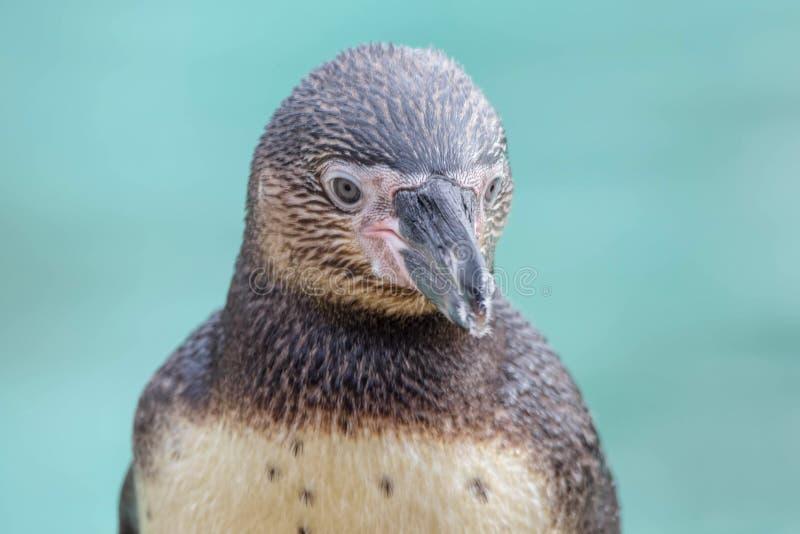 Humboldt Pinguin-Abschluss oben stockfoto