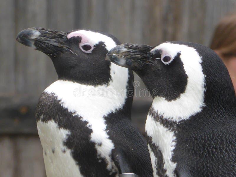 Humboldt-Pinguin, der heraus der Welt betrachtet lizenzfreie stockbilder