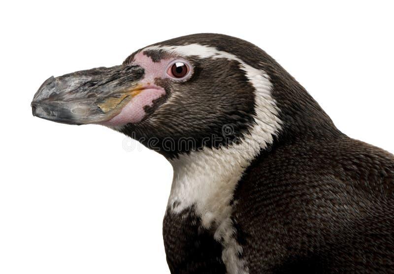 Humboldt Pinguin, Spheniscus humboldti lizenzfreie stockbilder