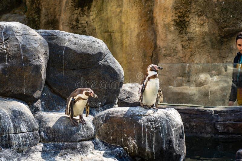 Humboldt-Pinguin Spheniscus humboldti in Barcelona-Zoo lizenzfreies stockbild