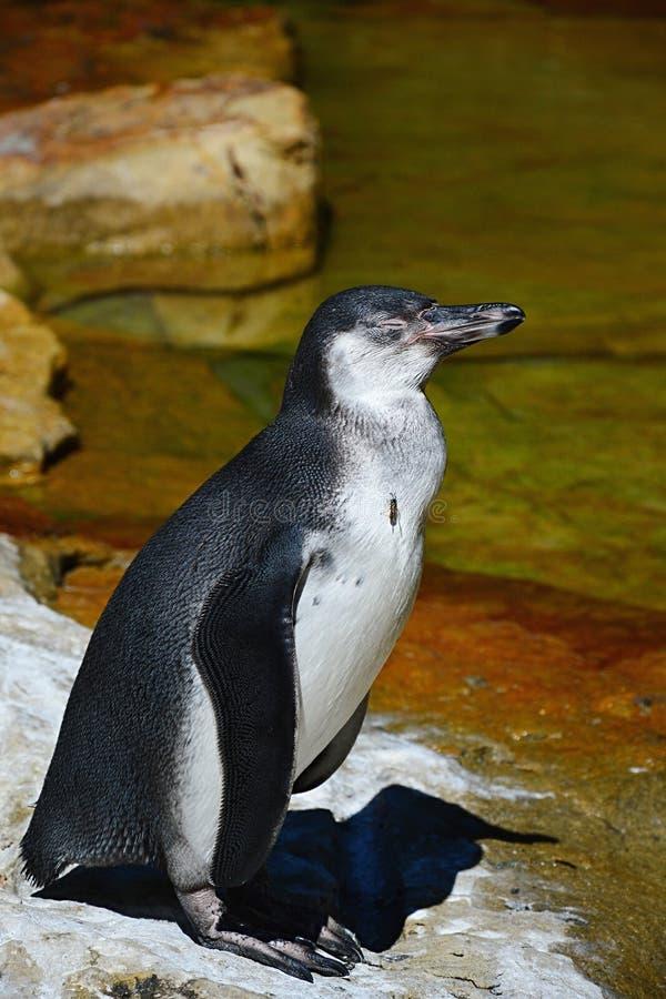 Humboldt-Pinguin Spheniscus humboldti, das auf felsigem Ufer mit Sozialwespe Vespula Germanica sitzt auf seinem Hals steht lizenzfreie stockfotos