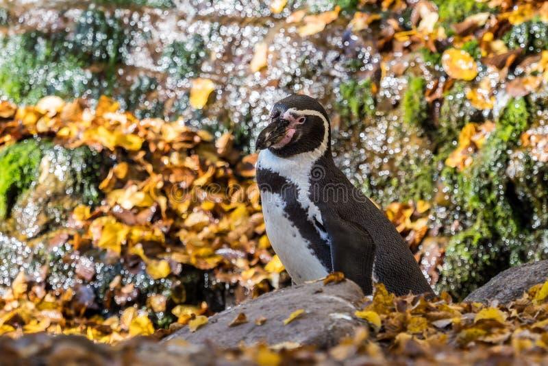 Humboldt-Pinguin, Spheniscus humboldti im Zoo stockbild