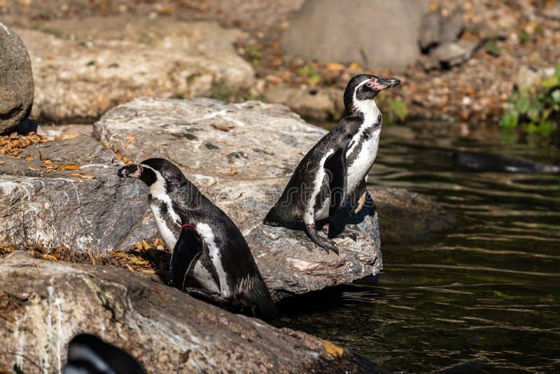 Humboldt-Pinguin, Spheniscus humboldti im Zoo lizenzfreie stockfotografie