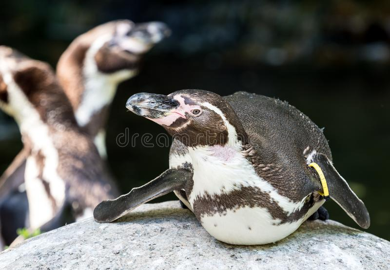 Humboldt-Pinguin, Spheniscus humboldti im Zoo stockbilder