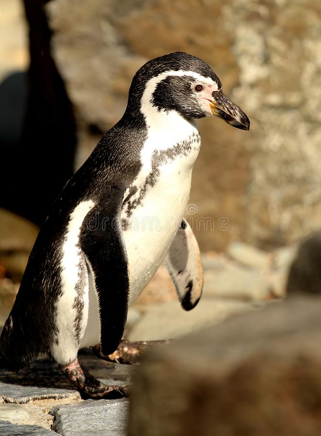 Humboldt-Pinguin Spheniscus humboldti Stellung - nette Tiere lizenzfreie stockfotos