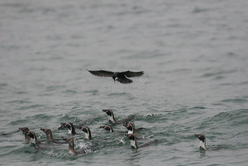 Humboldt-Pinguine, die im Ozean mit der Inkaseeschwalbe schwebt über ihnen schwimmen stockbild