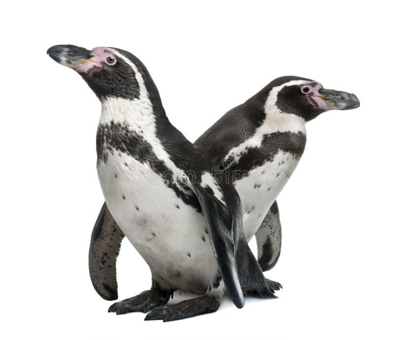 Humboldt Pinguine, Spheniscus humboldti lizenzfreie stockfotografie