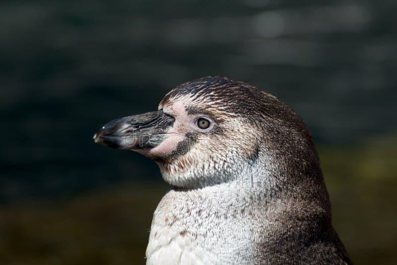 Humboldt-Pinguinnahaufnahme stockfotografie