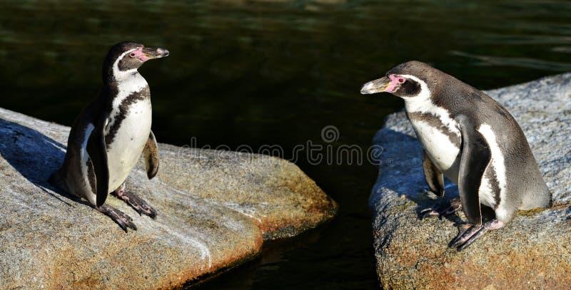 Humboldt pingwiny obraz stock