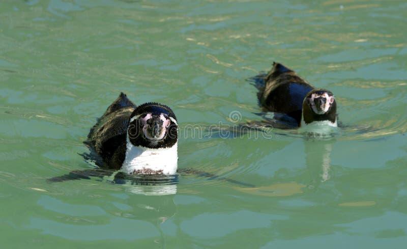 Humboldt pingwiny zdjęcie stock