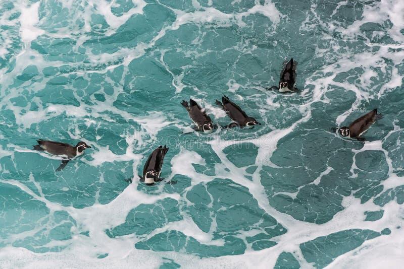 Humboldt pingwiny pływa w peruvian suną przy Ica Peru zdjęcie royalty free