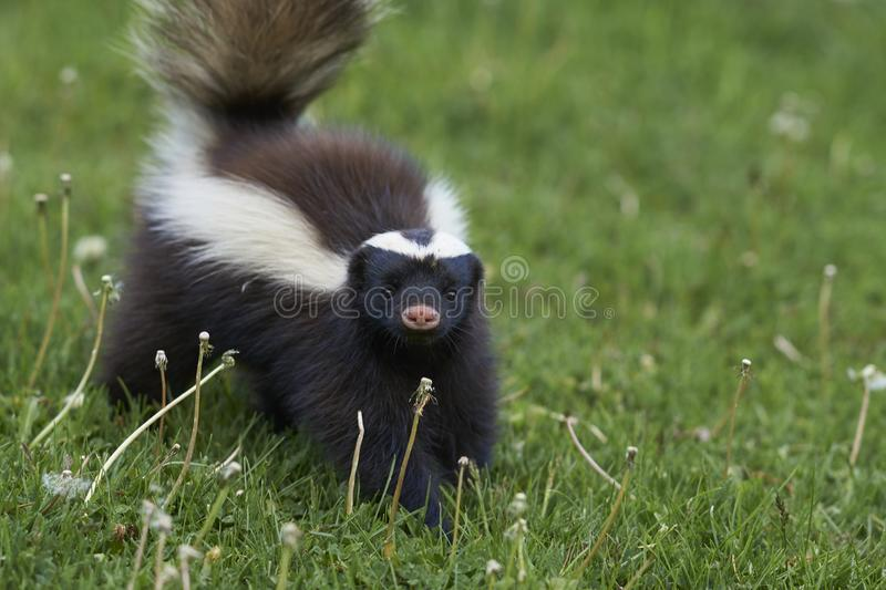 Humboldt`s hog-nosed skunk in northern Patagonia, Chile. Humboldt`s hog-nosed skunk [Conepatus humboldti] searching for food in Valle Chacabuco, Patagonia, Chile stock images