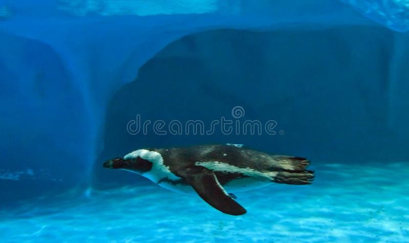 Humboldti del Spheniscus del pingüino de Humboldt que nada rápidamente fotografía de archivo