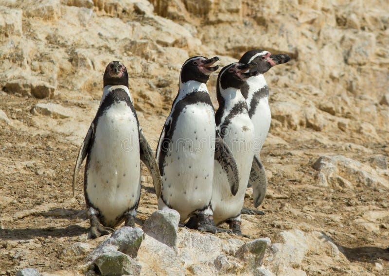 Humboldti Penguin Spheniscus Humboldt στοκ φωτογραφίες με δικαίωμα ελεύθερης χρήσης