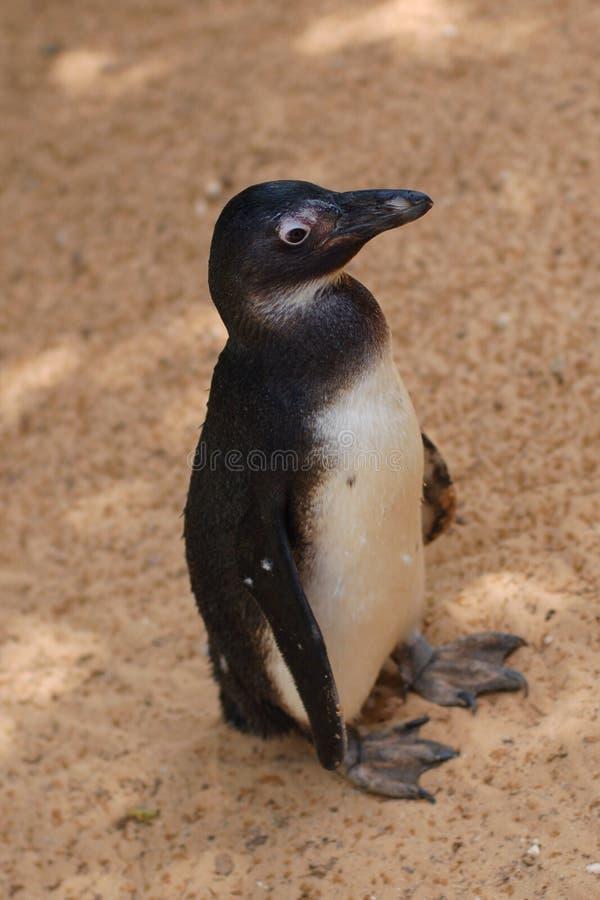 humboldtpingvin arkivfoto