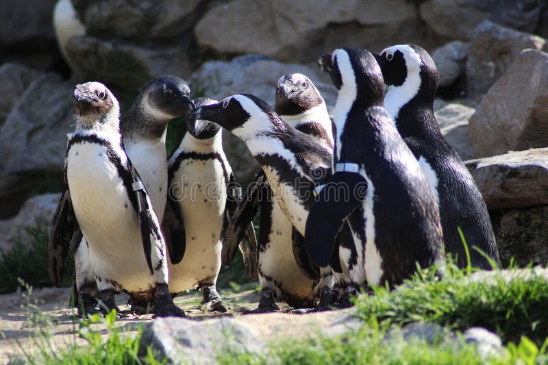 Humbolt penguin group royalty free stock image