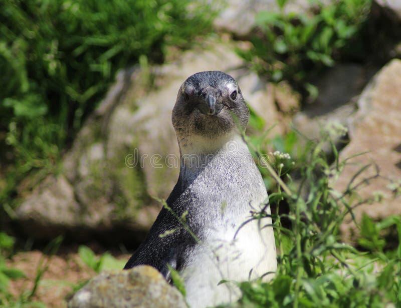 Humbolt penguin head stock image
