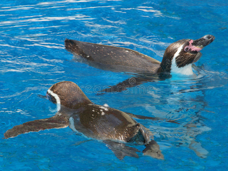 Humbolt Pinguine stockbild
