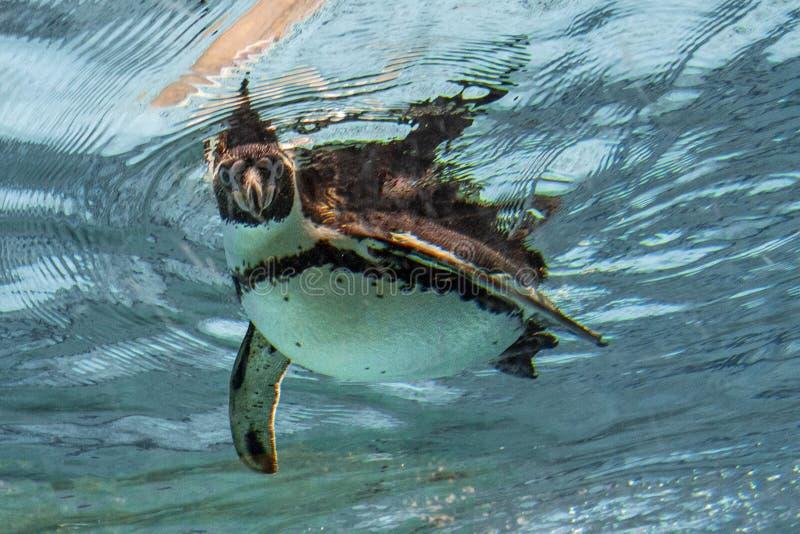 Humbolt pingwin podwodny patrzejący ciebie zdjęcia royalty free