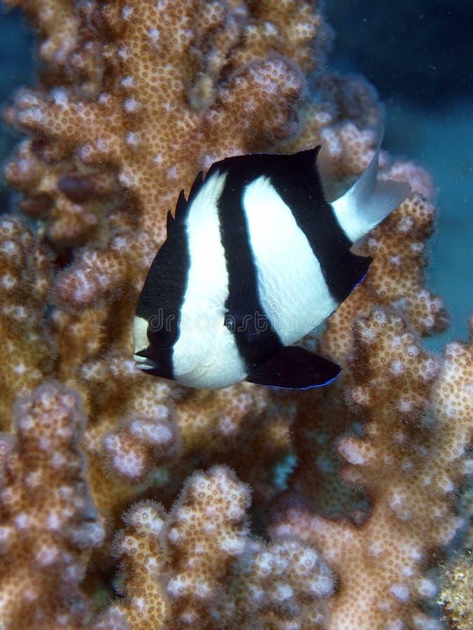 Humbug damsel fish. Damsel fish in the red sea stock image