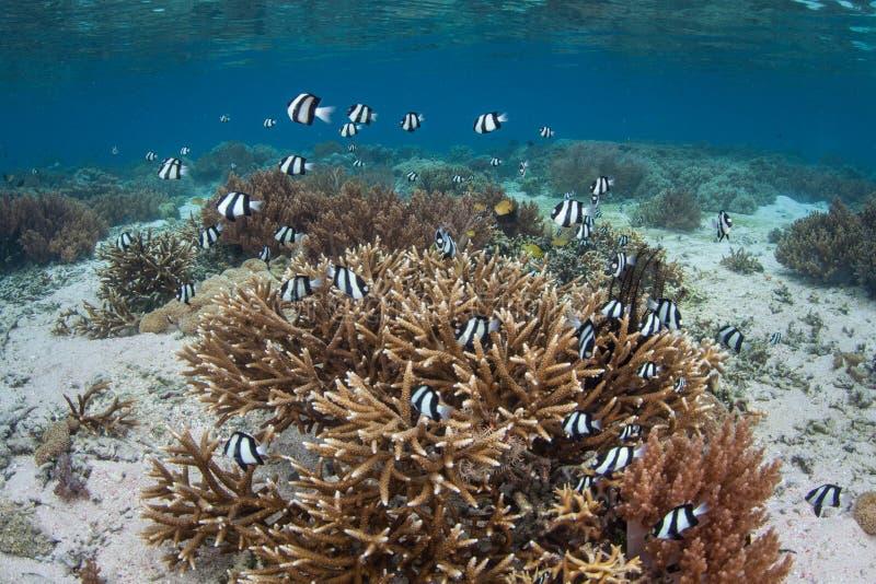 Humbug Damselfish and Corals in Raja Ampat royalty free stock images