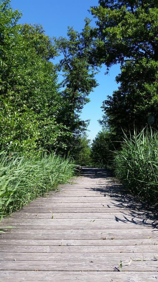 Humedal y puente de madera con las cañas jovenes y las hojas verdes imagenes de archivo