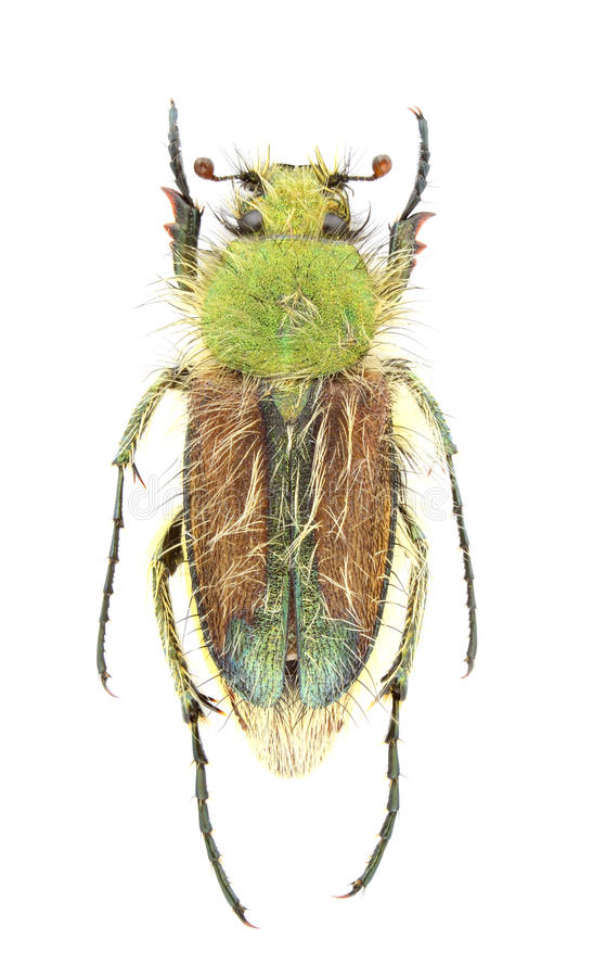 Humeralis van Pygopleurus royalty-vrije stock fotografie