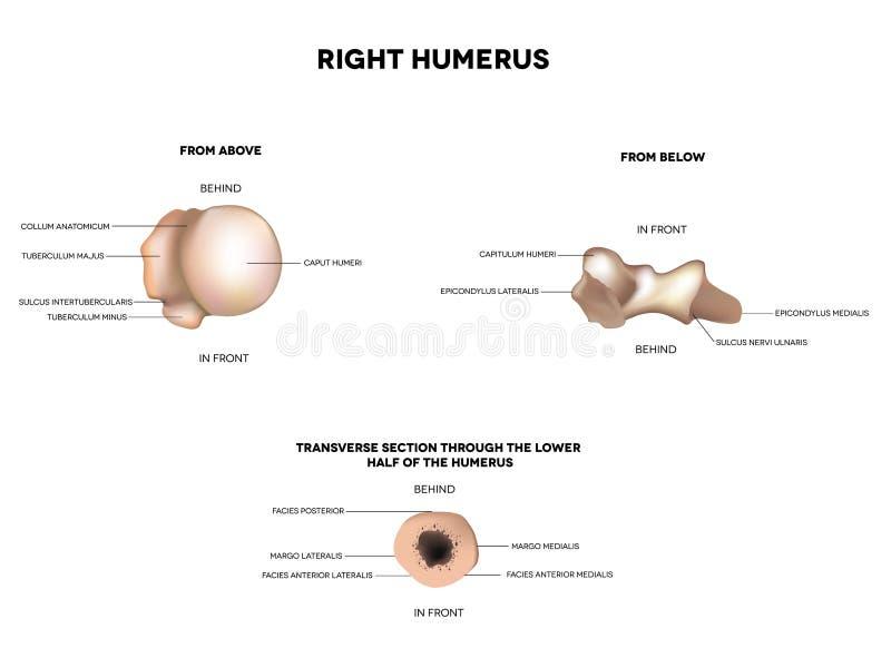 Humerus сверху, ниже, поперечный раздел бесплатная иллюстрация