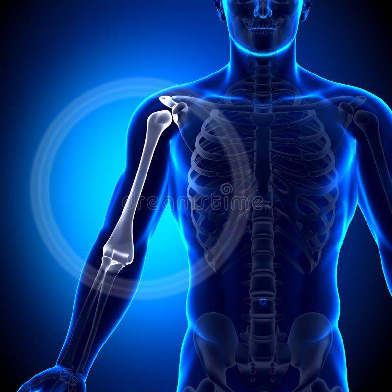 Humerus-/Arm-Anatomie - Anatomie-Knochen Stock Abbildung ...