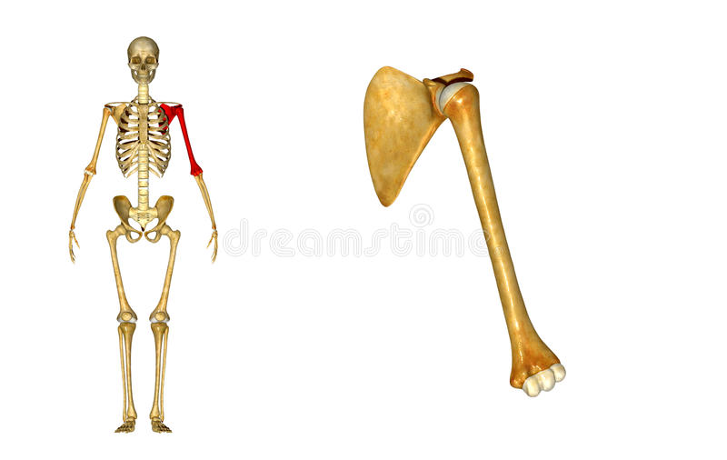 Humerus Bone And Scapula Shoulder Blade Stock Photo Image Of Bones